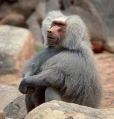 gtotem_baboon