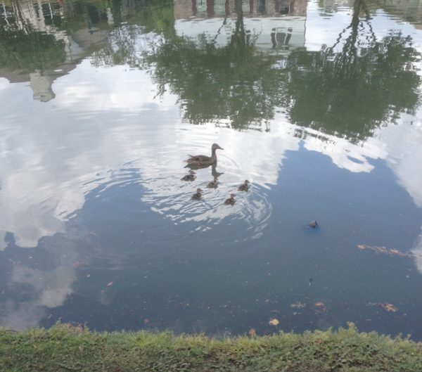 Lucy in the sky with ducklings